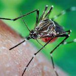 ¿Cuánto viven los mosquitos?