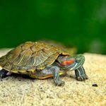 ¿Cuántos años viven las tortugas?